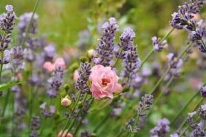 Lavande et roses sauvages dans nos cosmétiques